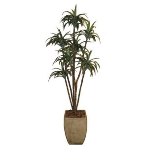 Dracaena1.5m in Cement Pot