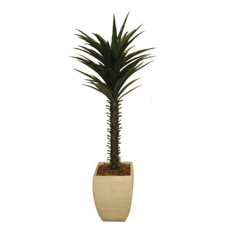 Dracaena 105cm  in Cement Pot 1