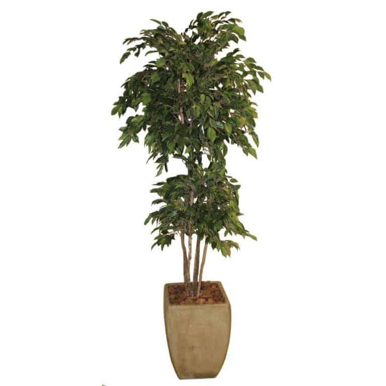 Natasja Ficus in Cement Pot 1