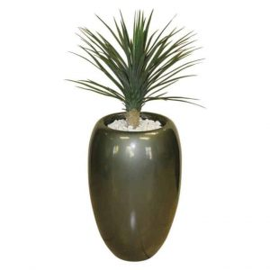 Yucca Rostrata in Bubble Urn